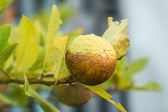 Lemon were eaten by thrips Royalty Free Stock Photos