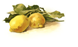 Lemon. On a white background royalty free illustration