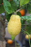 Lemon yellow in the farm that cultivates plants with organic met. Big organic lemon yellow in the farm that cultivates plants with organic methods without Stock Images