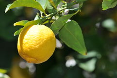 Lemon yellow. Among green leaves on a sunny day genuine sour Stock Photos
