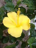 Lemon yellow hibiscus flower. This is a tropical plant called a hibiscus, this is a lemon yellow in color which is very rare Stock Image
