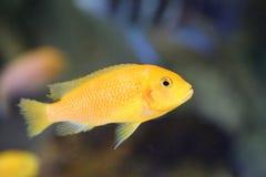 Lemon yellow lab. Labidochromis caeruleus in Lake Malawi , East Africa stock photography