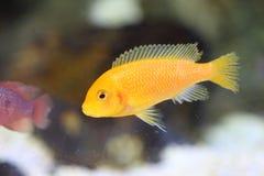 Lemon yellow lab. Labidochromis caeruleus in  Lake Malawi , East Africa Royalty Free Stock Images