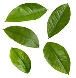 Lemona Blätter Stockfoto