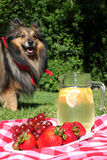 Lemonade and dog picnic Royalty Free Stock Photos