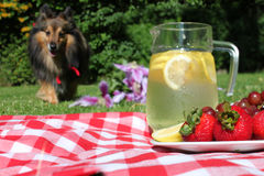 Lemonade and dog picnic Royalty Free Stock Photo