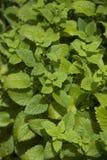 Lemonbalm in herb garden Stock Images
