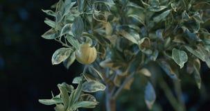 Lemones in de serre stock video