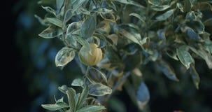 Lemones in de serre stock videobeelden