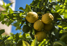 Lemones sur l'arbre Photos stock