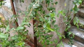 lemongras Stockbilder