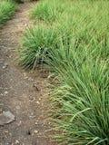 lemongrass στοκ εικόνες με δικαίωμα ελεύθερης χρήσης
