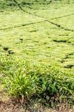 Lemongrass Bush Stock Images