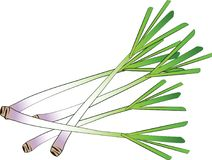Lemongrass stock illustration
