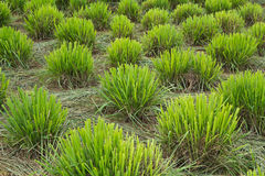 Lemongrass clump Stock Images