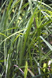 Lemongrass Stock Image