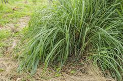 Lemongrass grono fotografia royalty free