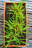 Lemongrass growing in flowerpot. Viewed from above stock image