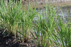Lemongrass grown in the garden. Royalty Free Stock Photography