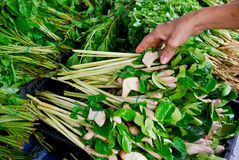 Lemongrass and kaffer lime leaf in market. Lemongrass and kaffer lime leaf in fresh market with woman hand picking to buy , Asia , Thailand royalty free stock image