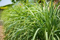 Lemongrass or Lapine or West Indian were planted on the ground. It is a shrub, its leaves are long and slender green. It is a shru. Lemongrass or Lapine or Lemon Stock Photography