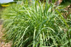 Lemongrass or Lapine or West Indian were planted on the ground. It is a shrub, its leaves are long and slender green. It is a shru. Lemongrass or Lapine or Lemon Stock Photos