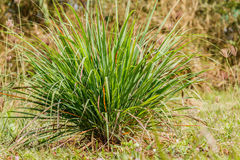 Lemongrass lemongrass, citronella in natural back ground.  Stock Photography