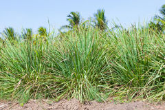 The Lemongrass Stock Image