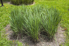 Lemongrass outdoor. In the park Royalty Free Stock Photography