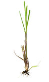Lemongrass plant Royalty Free Stock Image