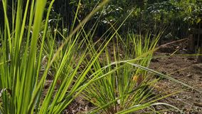 Lemongrass plants at the garden, in beautiful morning. Use for nature-themed videos stock video footage