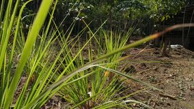 Lemongrass plants at the garden, in beautiful morning. Use for nature-themed videos stock footage