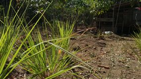 Lemongrass plants at the garden, in beautiful morning. Use for nature-themed videos stock video