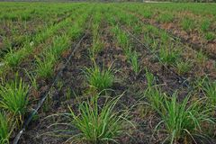 Lemongrass production field,Thailand stock image