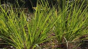 Lemongrass rośliny przy ogródem w pięknym ranku, zbiory