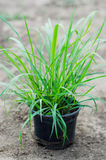 Lemongrass seedlings Royalty Free Stock Photography