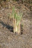Lemongrass tree Stock Images