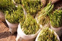 Lemongrass tree on plastic bag Royalty Free Stock Image