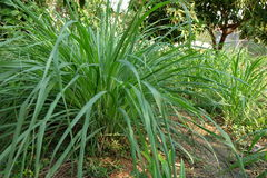 Lemongrass tree Stock Images