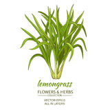 Lemongrass vector illustration. Lemongrass plant vector illustration on white background Royalty Free Stock Image