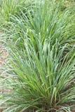 Lemongrass was born. In the bush Stock Photo