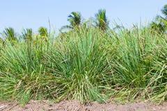 Lemongrassen Fotografering för Bildbyråer