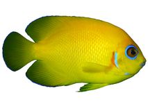 Lemonpeel angelfish Isolated. The Lemonpeel Angelfish is a cheery yellow with sky-blue highlights on the lips, encircling the eyes, on the pectoral fins, and the stock photos