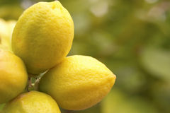 Lemons. Fresh lemon stock photography