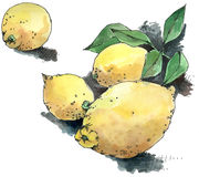 Lemons. Hand drawn & painted illustration of four lemons, with leaves Stock Photos