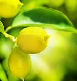 Lemons. Growing Organic Lemons. Lemon Tree Stock Image