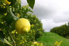 Lemons. Lemon hanging on a tree with rain drops and cloudy skies stock images