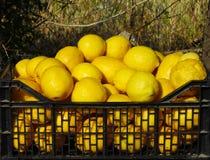 Lemons in the black plastic box, Spain Royalty Free Stock Photography