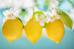 Lemons. On blue background on summer day Royalty Free Stock Photography