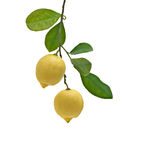 Lemons on branch Royalty Free Stock Image